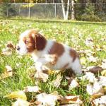 Puppy Bugle-cropped